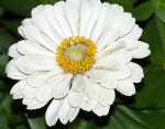 Big White Zinnia