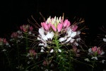 Goodnight Cleome
