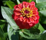 Poppy colored Zinnias